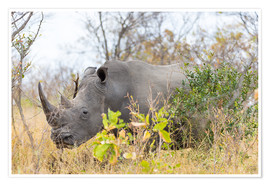Premium poster Rhino grazing in the bush, Kruger National Park, South Africa