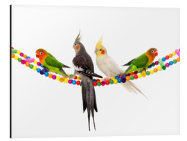 Alu-Dibond  Lovebirds and cockatiels