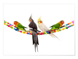 Premium poster  Lovebirds and cockatiels