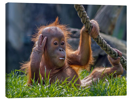 Canvas print  orang-utan - WildlifePhotography