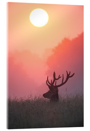 Acrylic glass  A male deer Stag at sunset - Alex Saberi