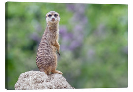Canvas print  Meerkats - WildlifePhotography