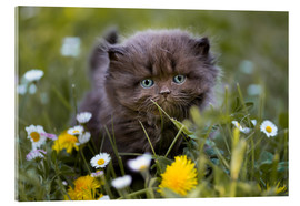 Acrylic print  kitten on a meadow in summer - Janina Bürger