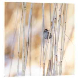 Acrylic print  little guest in the reed - Moqui, Daniela Beyer