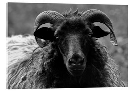 Acrylic print  Grey Heidschnucke - Sheep - Martina Cross