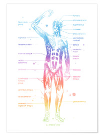 Premium poster  Rainbow Muscle System I. - Mod Pop Deco