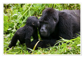 Premium poster Infant mountain gorilla with mother
