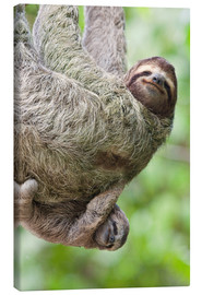 Canvas print  A Brown-Throated Sloth and her baby