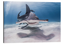 Aluminium print  Big hammerhead on the seabed - Cultura/Seb Oliver