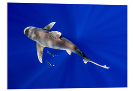 Foam board print  Oceanic Whitetip Shark with pilot fish - Cultura/Seb Oliver