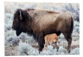 Foam board print  Bison cow with calf