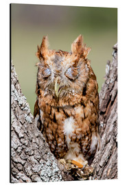 Aluminium print  Screech-Owl eating grasshopper