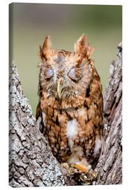 Canvas print  Screech-Owl eating grasshopper