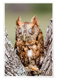 Premium poster  Screech-Owl eating grasshopper