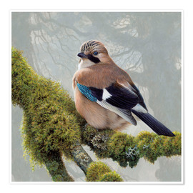 Premium poster  Eurasian Jay sits on a mossy branch - Ikon Images