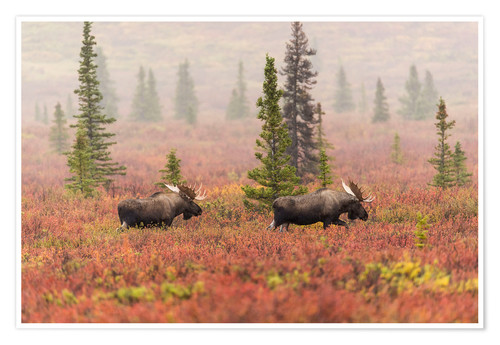 Premium poster Elks wander through the taiga