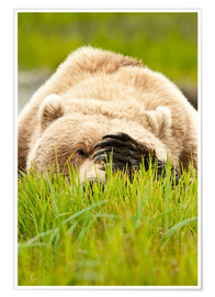 Premium poster Brown bear with paw on his head
