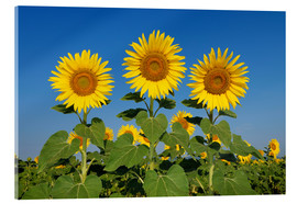Acrylic print  Common Sunflowers (Helianthus annuus) - Radius Images