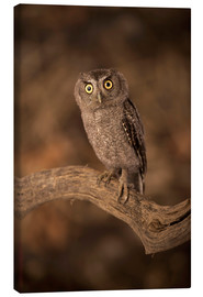 Canvas  The Tamaulipas dwarf owl - age fotostock