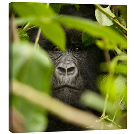 Canvas print  A silverback gorilla in the undergrowth - John Warburton-Lee