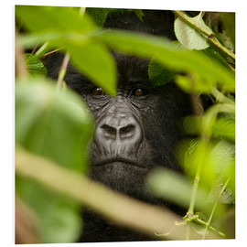 Forex  A silverback gorilla in the undergrowth - John Warburton-Lee