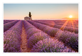 Premium poster Sunrise over lavender field