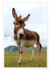 Premium poster  Portrait of the donkey - Click Alps
