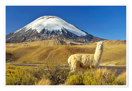 Premium poster  Alpaca at the foot of the volcano Parinacota - age fotostock