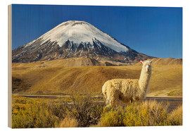 Wood print  Alpaca at the foot of the volcano Parinacota - age fotostock
