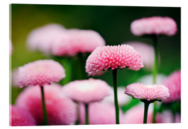 Acrylic glass  Pink daisies - age fotostock