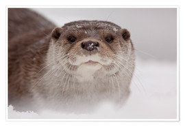 Premium poster Otter in the snow