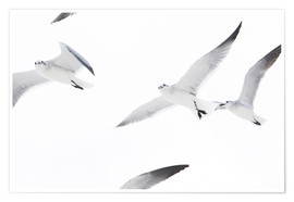 Premium poster Flying seagulls