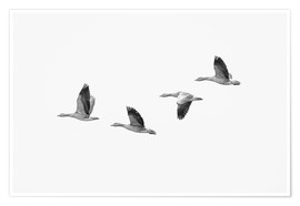 Premium poster  Four gray geese in flight - olbor