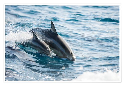 Premium poster Eastern Pacific dolphin beside his mother