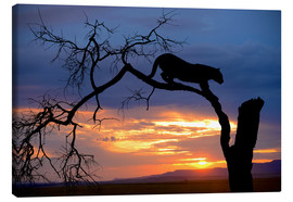 Canvas print  Climbing Leopard in the sunset - Jim Zuckerman