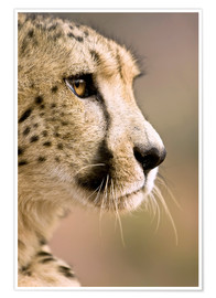 Premium poster  Profile of a cheetah - Janet Muir
