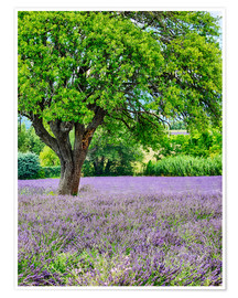 Premium poster  Lavender field in Provence - Terry Eggers