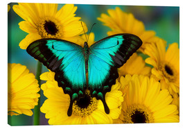 Canvas print  Sea Green Swallowtail Butterfly - Darrell Gulin