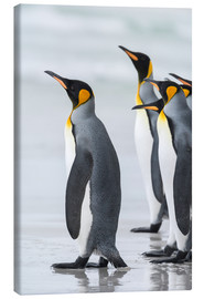 Canvas print  King Penguins on Falkand Islands - Martin Zwick