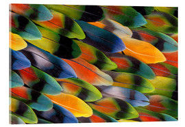 Acrylic print  colourful parrot feathers - Darrell Gulin