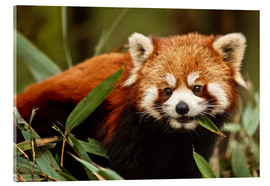 Acrylic print  Red panda in Wolong - Jim Zuckerman