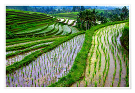 Premium poster Rice terraces in Bali