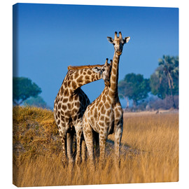 Canvas print  Cuddling giraffe couple - Janet Muir