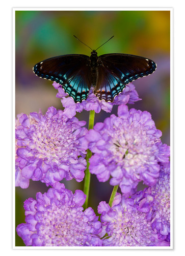 Premium poster Butterfly on lilac flowers