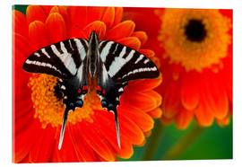 Acrylic print  Knight butterfly on gerbera - Darrell Gulin