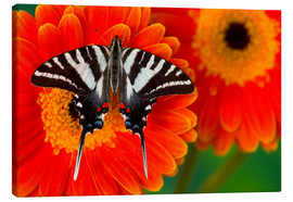 Canvas print  Knight butterfly on gerbera - Darrell Gulin