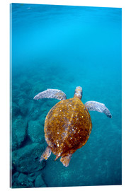 Acrylic print  Floating galapago turtle - Pete Oxford