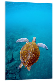 Foam board print  Galapagos Green Sea Turtle - Pete Oxford