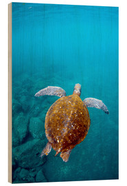 Wood print  Floating galapago turtle - Pete Oxford