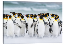 Canvas print  King Penguins on the Falkand Islands - Martin Zwick